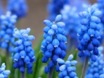 Pretty grape hyacinths