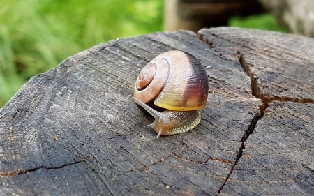 Snail - snail, animal, macro, wood