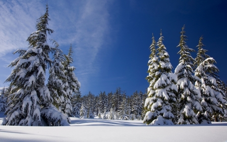 Pretty pines in Winter - white, pines, blue, winter, cold, photography, snow, ice, forests, nature, frost