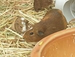 Guinea Pig with 2 Babies