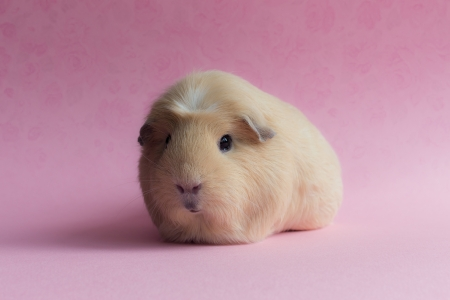 Cute Guinea Pig - Pig, Cute, Wallpaper, Guinea
