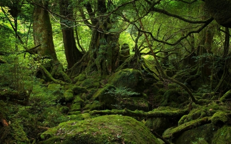Yakushima Forest - Yakushima Forest, cool, nature, trees, fun