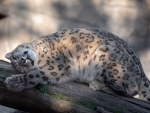 Sweet Snow Leopard