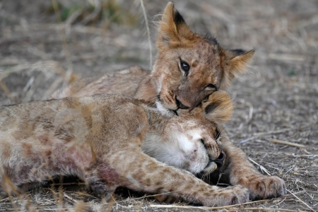 Affection - hug, tenderness, cubs, babies, affection, safari, sweet, lions, adorable