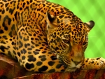Leopard resting on a brown log