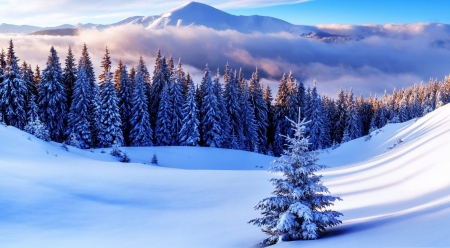 Winter in the mountains - forest, pine, snow, mountains, nature, landscape, scene, winter, wallpaper