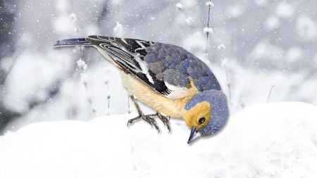 Winter Finch 2 - snow, bird, finch, winter, Firefox theme