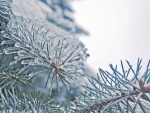 Frozen fir needles