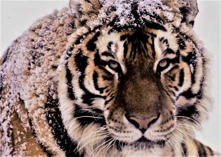 I do not tenderness but I am a beauty - tiger, eyes, close-up, winter