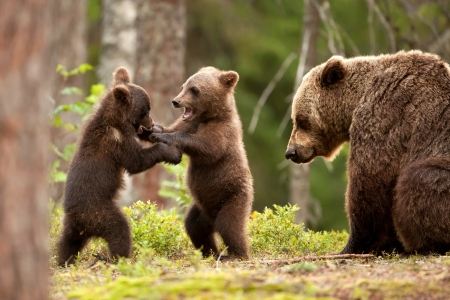Bear Cubs Playing - forest, nature, bears, animals