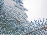 Frozen fir tree needles