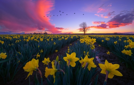 :) - sunset, spring, narcise, sky, field, yellow, daffodil, flower, pink, blue
