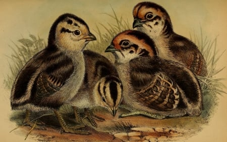 Baby quail - white, quail, beige, black, browns, chicks