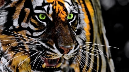 Tiger - animal, roaring, green eyes, tiger, tigru, face