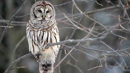 Barred Owl - owls, wood owl, wallpapers, 1080i, animals, white, branch, large typical owl, nature, barred owl, birds, Entropy, rain owl, hoot owl, brown, strix varia, striped owl, 1080p, man eight hooter, tree, 1920 x 1080