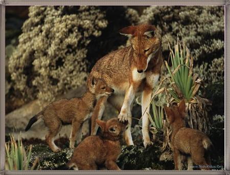 wolfs - animals, wolfs