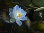Lotus and dragonflies