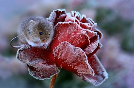:) - frozen, soricel, winter, trandafir, red, rose, animal, iarna, cute, year of the rat, mouse, ice, rodent