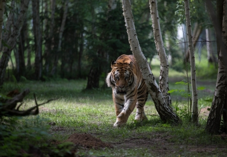 Tiger - tigru, tiger, tree, forest, big cat, animal