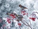 Winter Birds And Berries