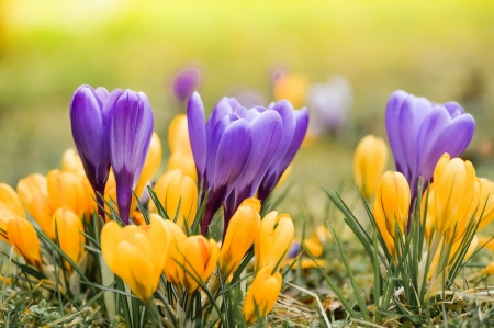 Crocuses - spring, crocus, freshness, grass, flowers, beautiful