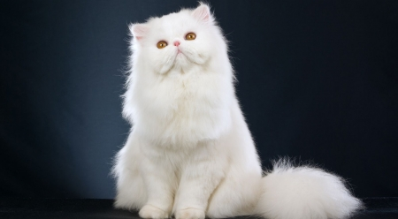 White fluffy cat - cute, fluffy, white, pets, cat, cats, persian cat, animals, wallpaper
