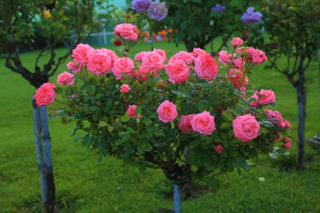 Rose tree - cool, photography, green, flowers, gardens, nature, roses, trees