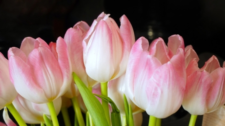 PinkTulip Spring - Firefox theme, fragrant, flowers, blossoms, spring, tulips, pink, blooms