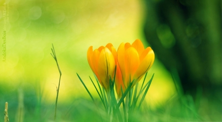 Yellow crocuses - crocus, photography, macro, flowers, nature, spring, abstract, softness, wallpaper