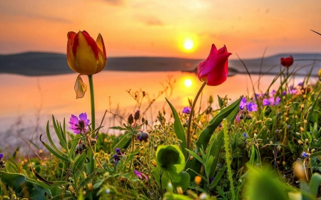Tulips at the sunset - flower, sunset, river, tulip