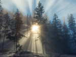 Sun Rays Piercing Through Evergreen Forest