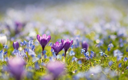 Crocus - flowers, crocuses, sunlight, field