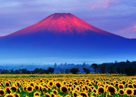 Mount Fuji Japan - mount, yellow, sunflower, pink, field, fuji, blue, japan, vara, summer