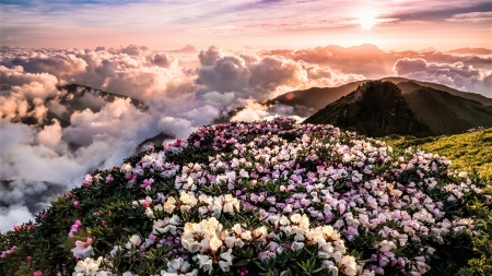 Rhododendrons - flowers, mountain, sky, clouds