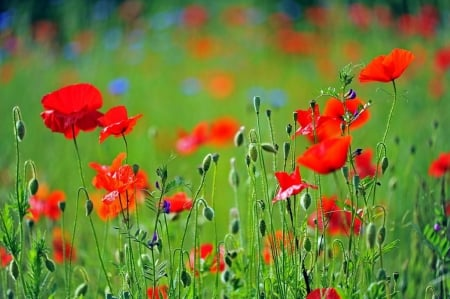 Spring Poppies - Spring, blooming, field, poppies