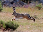 Leaping Rabbit