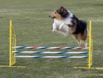 Beautiful Collie Leaping