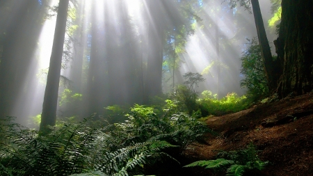 Forest Sun Rays - Sun Rays, Trees, Forest, Nature, Ferns