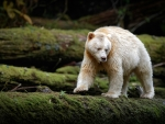 Spirit Bear of British Columbia, Canada
