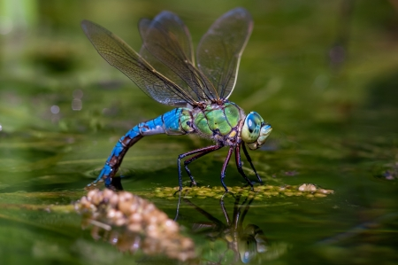 Dragonfly - water, vara, green, macro, insect, dragonfly, summer, blue, libelula