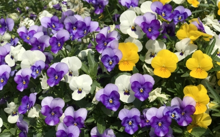 Pansies - yellow, flowers, pansies, purple