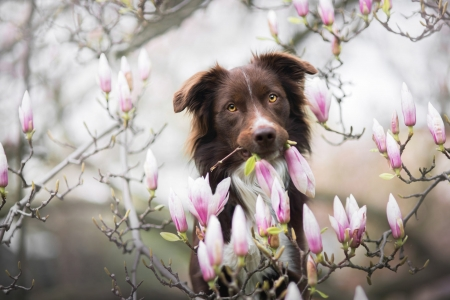 ♥ - border collie, brown, flower, spring, pink, primavara, magnoila, dog, caine