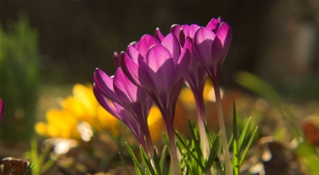 More crocus flowers - crocus, spring, nature, wallpaper, flowers, softness