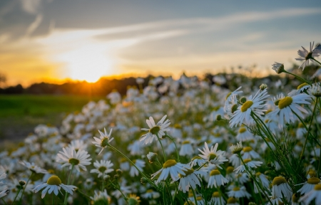 Chamomile under Sunset - sunset, grass, chamomile, flowers, nature, clouds