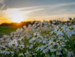 Chamomile under Sunset