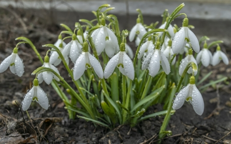 Snowdrops - flowers, spring, snowdrops, white