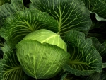 Healthy foods_Cabbage
