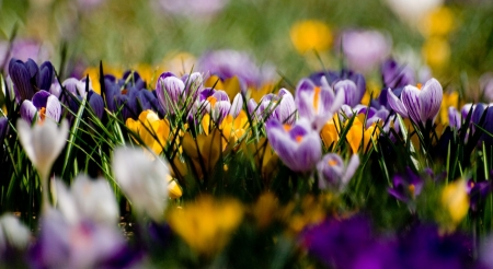 Crocus field - flowers, crocus, spring, nature, wallpaper