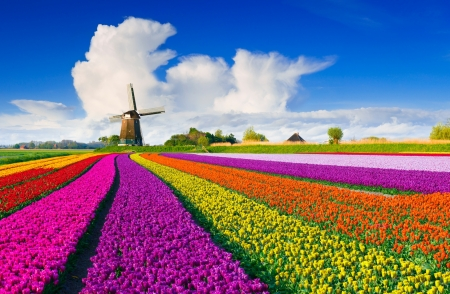Holland tulips and windmill - flowers, tulips, spring, sky, field, Netherland, colorful, windmill, beautiful, clouds, Holland