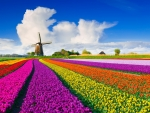 Holland tulips and windmill